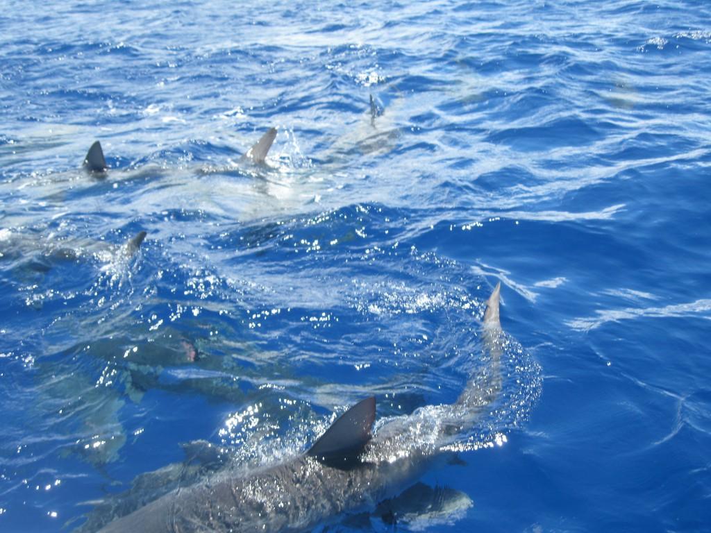 Mergulho com tubarões no Hawaii