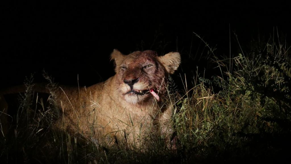 Leoa dentro do Parque Nacional Kruger durante safári na África do Sul
