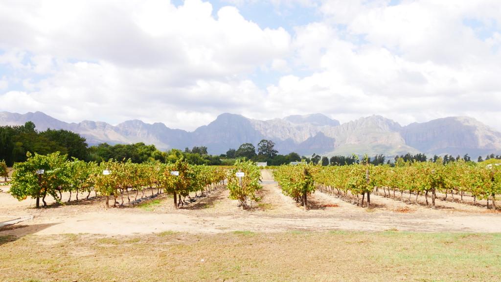 vinicolas africa do sul amanda viaja