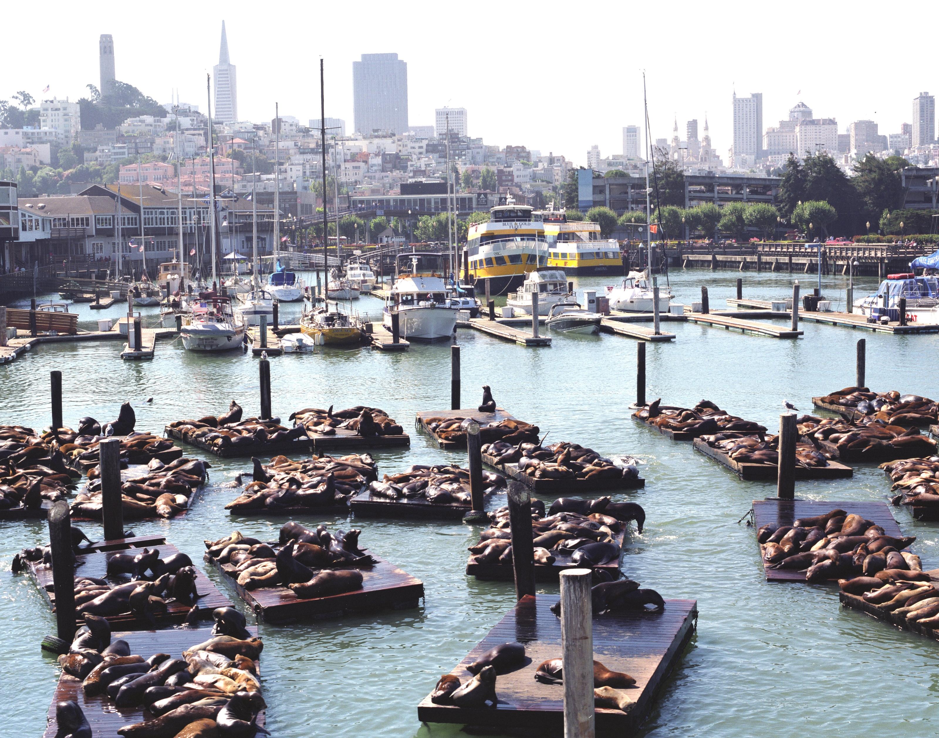 Leões marinhos em San Francisco